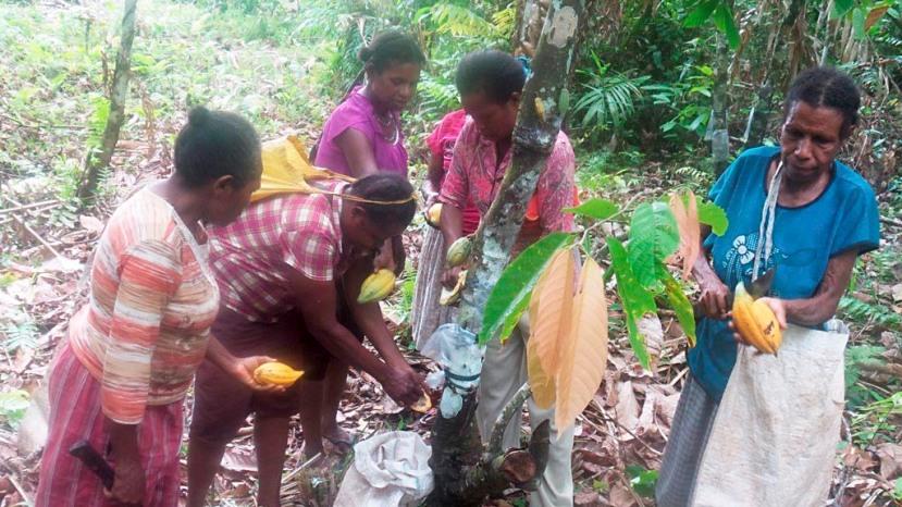 Aktivitas perempuan pemetik buah kakao di Desa Soaib, Kecamatan Kemtuk, Kabupaten Jayapura, Papua.